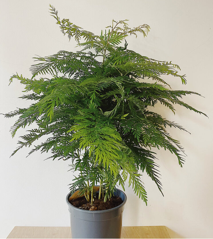 Crowed pot of grevillea with lacy green leaves and many stems. Gray plastic pot.