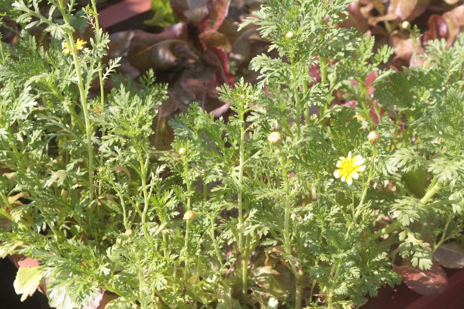 garland chrysanthemums growing tightly together, deeply cut foliage, first yellow and white flower, flower buds