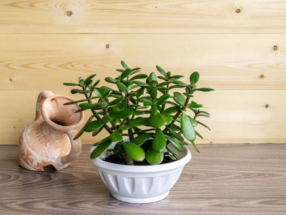 Small crassula with thick, green, spoon-shaped leaves growng in low with pot, with clay amphora as decoration.