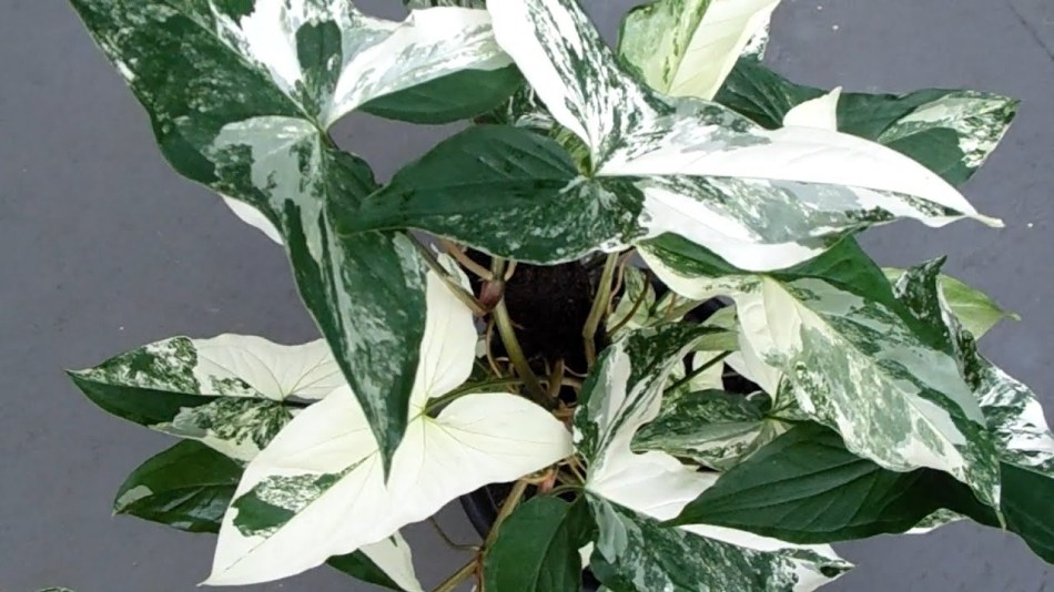 Arrow-shaped dark green leaves heavily marbles white.