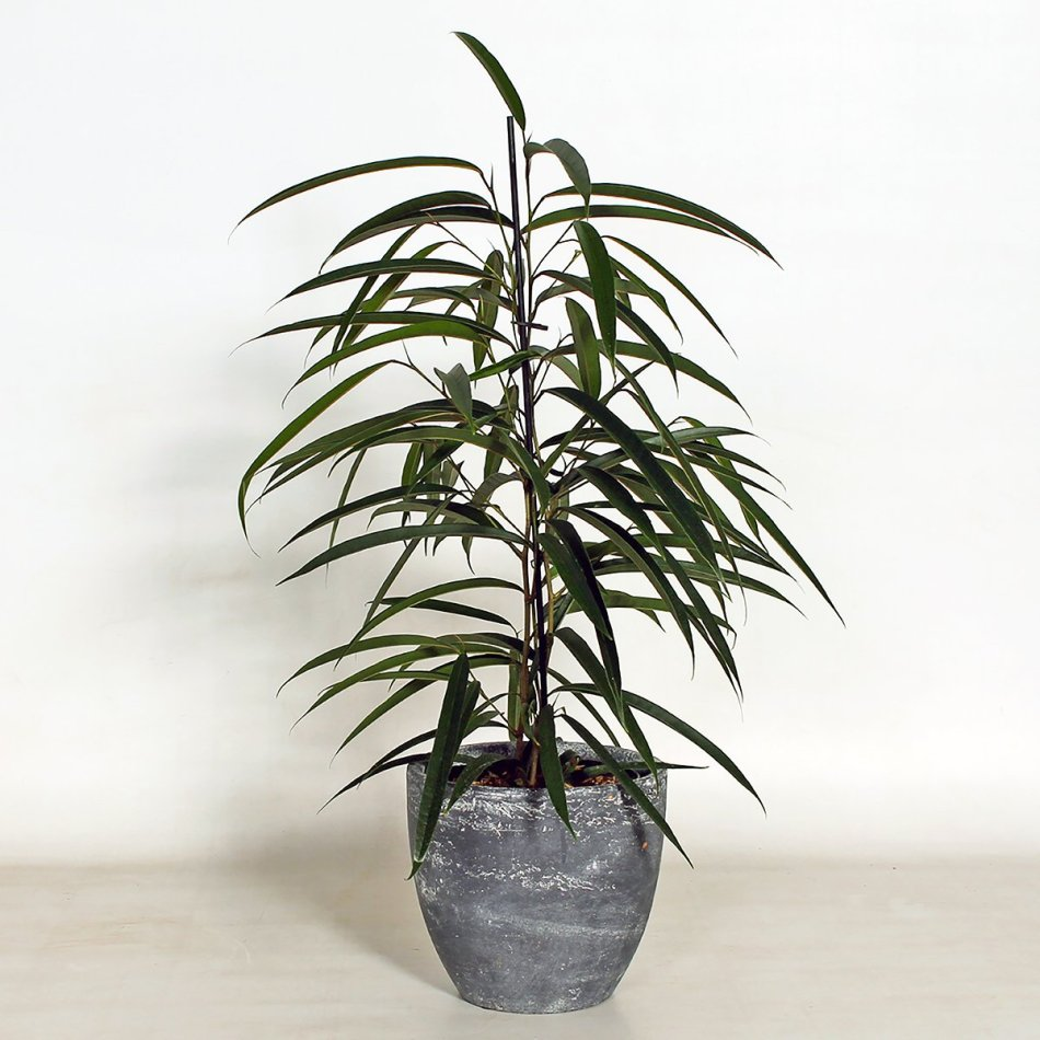 Tall plant, straight trunk, long, very narrow, pointed leaves, grey pot.
