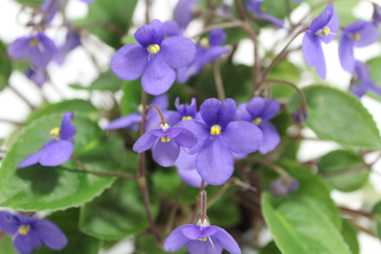 Species African violet with simply lavender blue flowers, 2 upright petals, 3 larger lower petals.