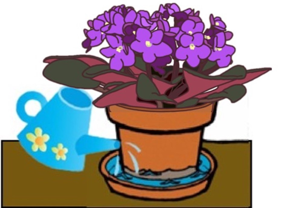 African violet pot sitting in saucer of water, watering can is filling the saucer.