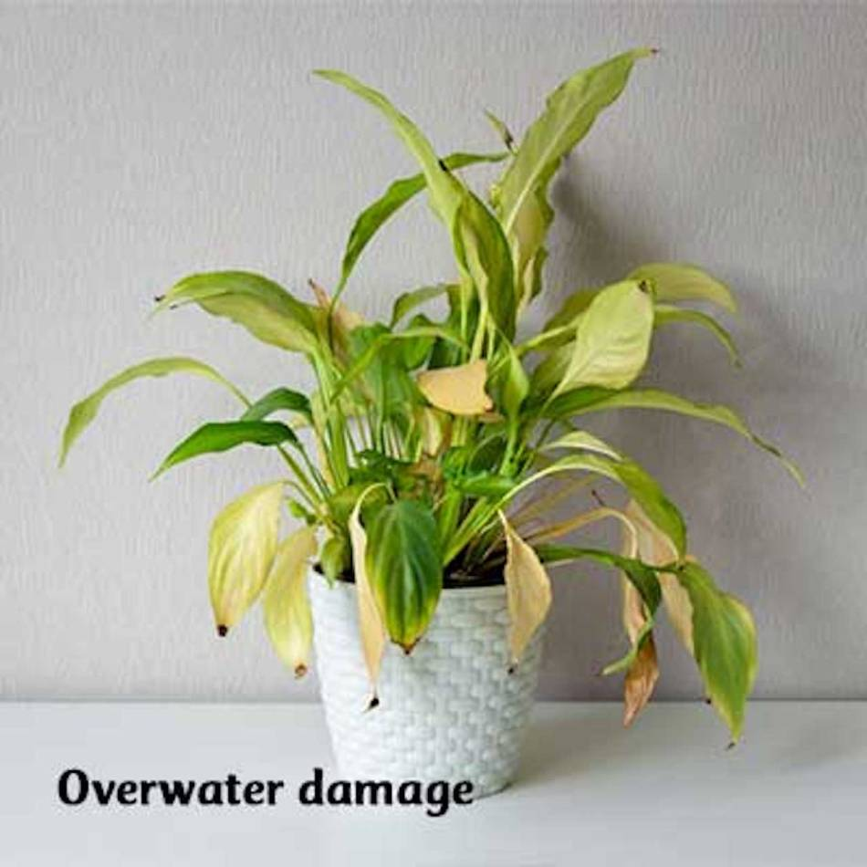 Plant with yellow leaves caused by overwatering.
