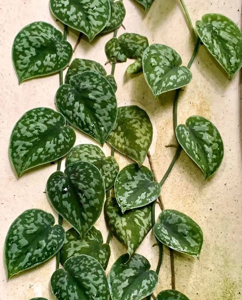 Satin pothos with green leaves mottle silver climbing up a wall.