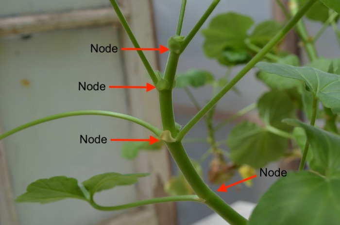 Pelargonium stem with arrows pointing to leaf nodes.