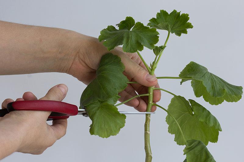 Scissors making a cut into a pelargonium stem just above a leaf node.