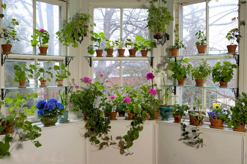 Three windows with houseplants including pelargoniums, some in bloom.