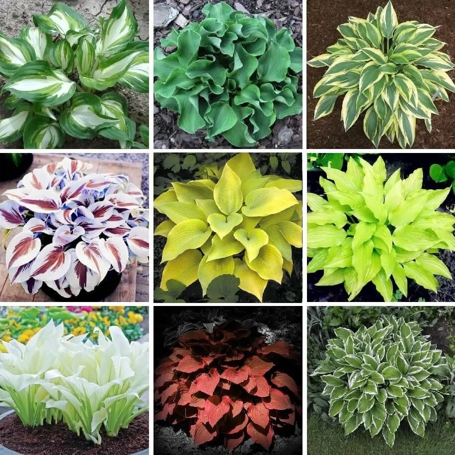 Composite photo showing differently coloured hostas, including photohopped brown and white and brick red ones