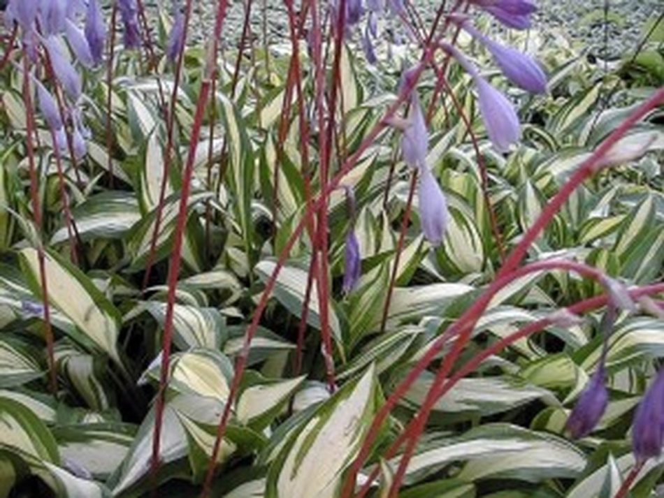 Hosta 'Cherry Berry' with green leaves with a white center an pinkish red flower stalks.