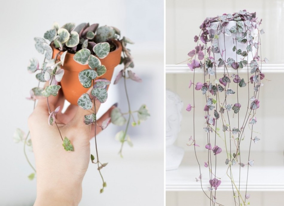 Two photos of variegated Sweetheart Vine
