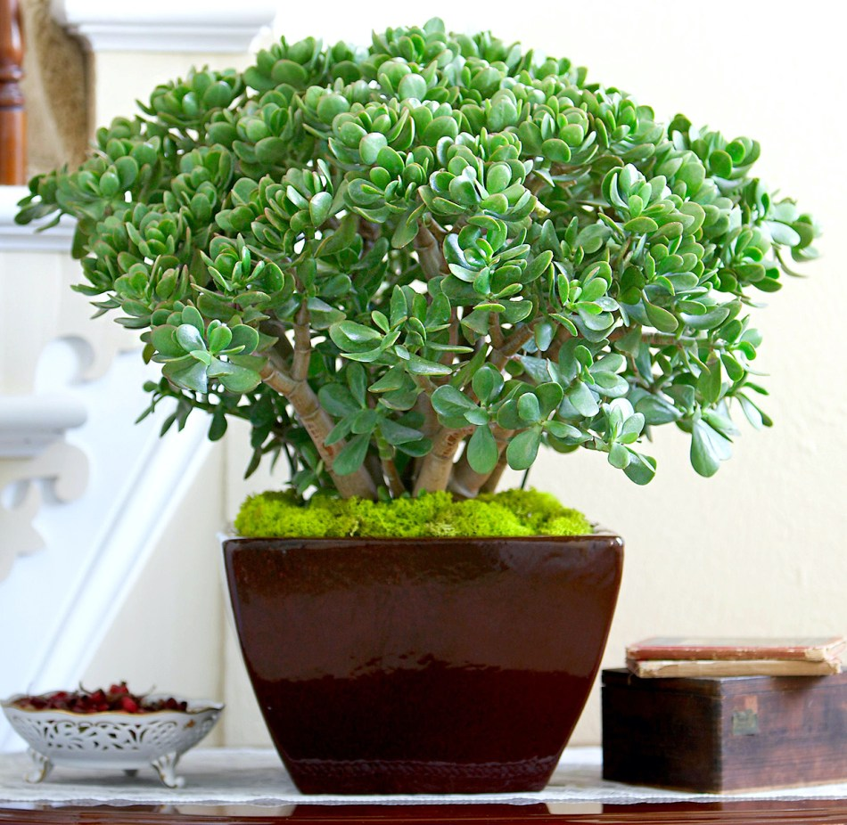 Jade plant in an oriental pot with stabilized moss as a mulch.