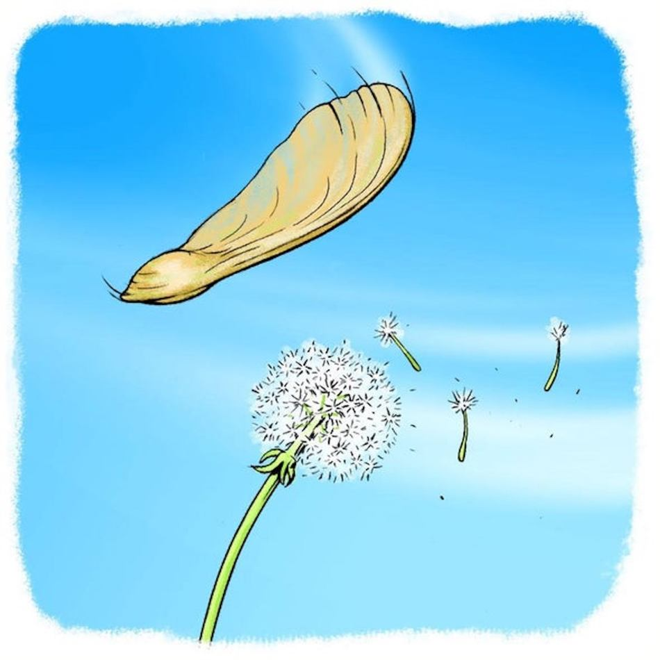 Illustration of a maple samara and of dandelion seeds blowing in the wind.