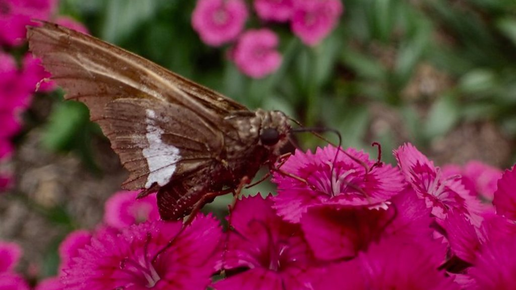 Heirloom flowers such as sweet william (above), love-in-a-mist and love-lies-bleeding offer romance, drama, and fragrance to the garden, and they draw pollinators!