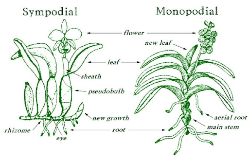 Illustration of sympodial and monopodial orchids.