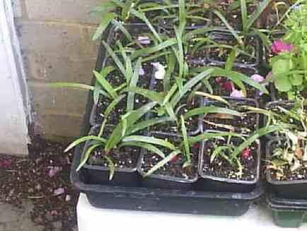Young amaryllis repotting into individual small pots.