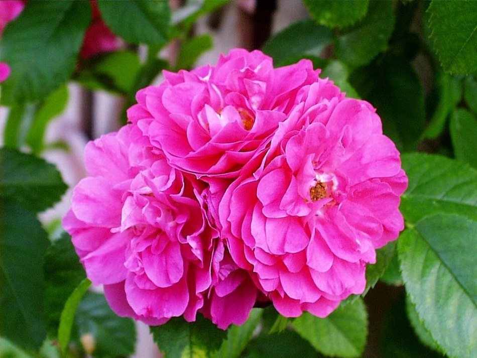 John Cabot rose with double pink flowers.