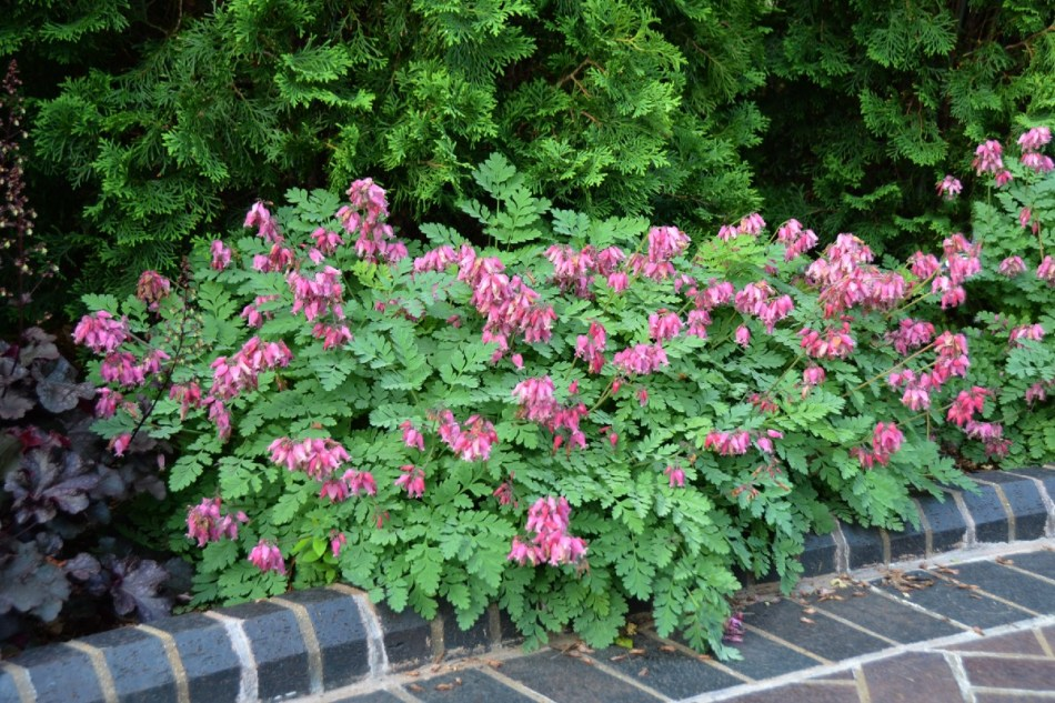 Dicentra 'Luxuriant' with blue green cut leaves and abundant pink flowers.