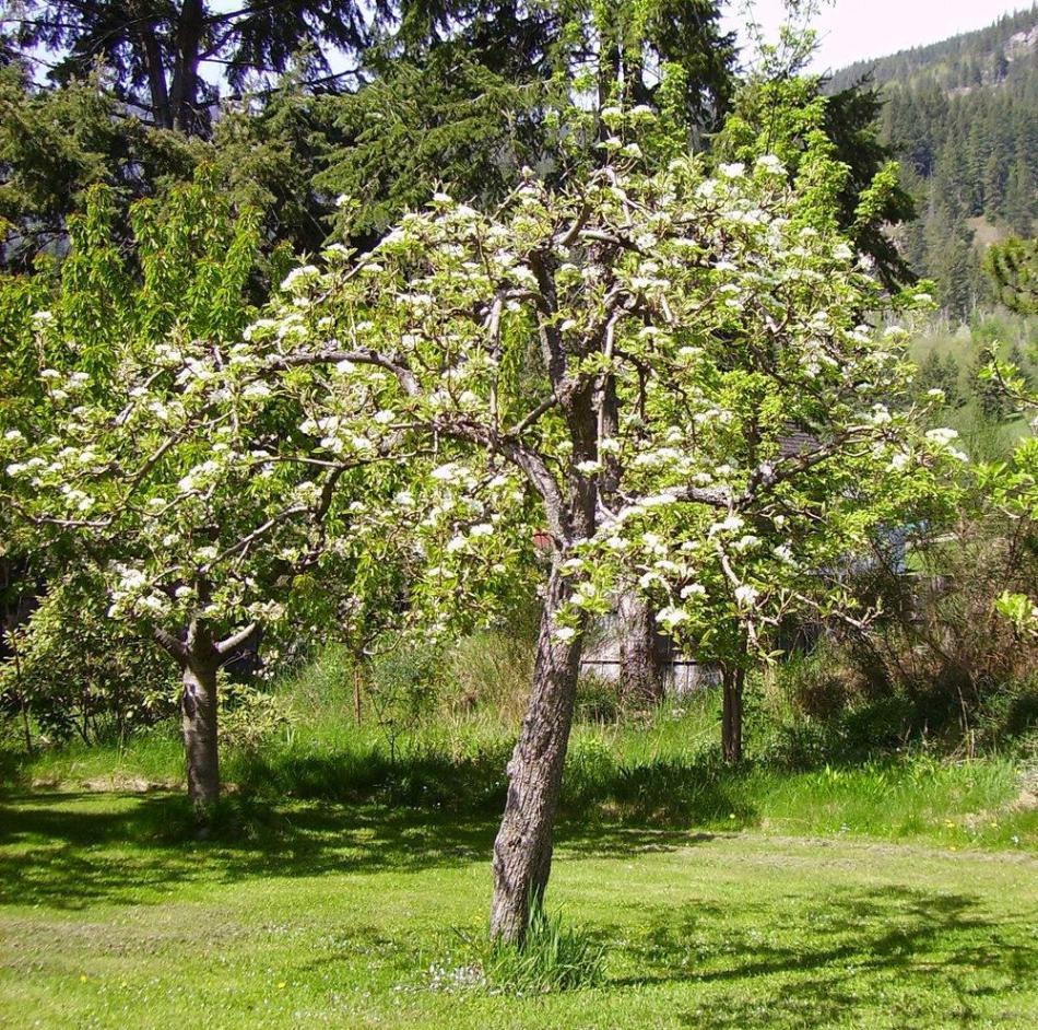 Pear tree in bloom.