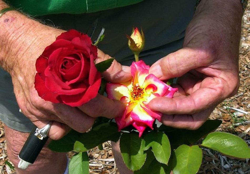 Double red rose showing no anthers, another rose opened up, showing anthers inside flower.