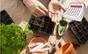 Hands sowing seeds in trays. Blank calendar in corner.