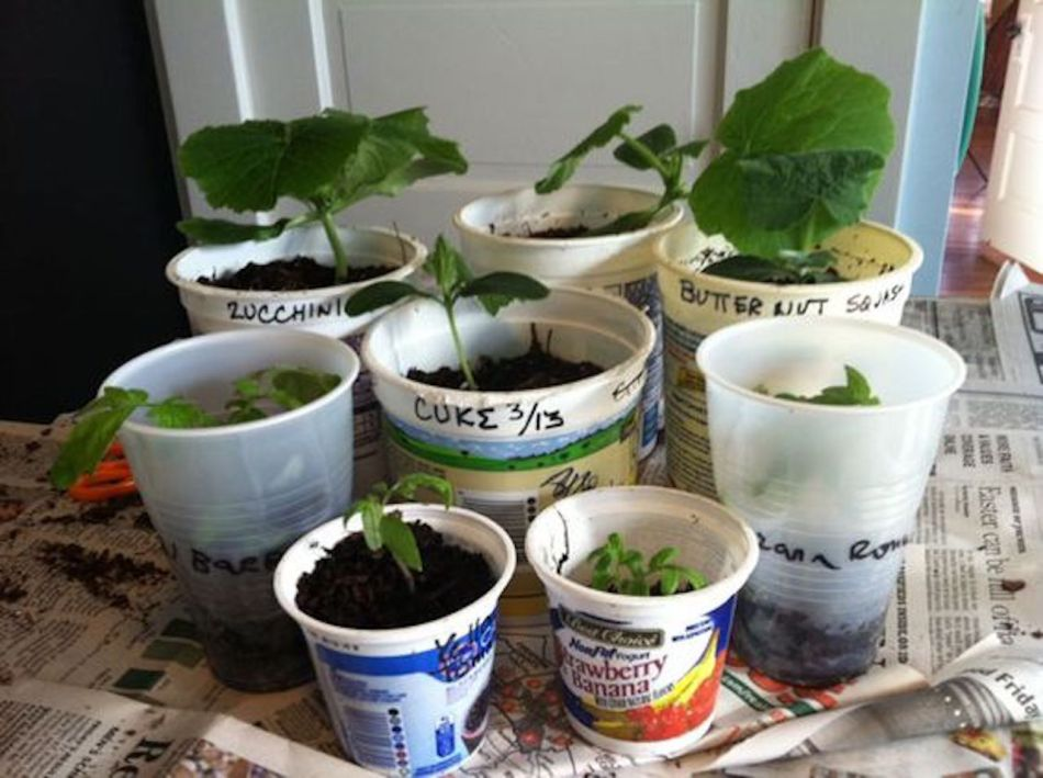 Seedlings sown in recycled pots of all shapes and sizes.
