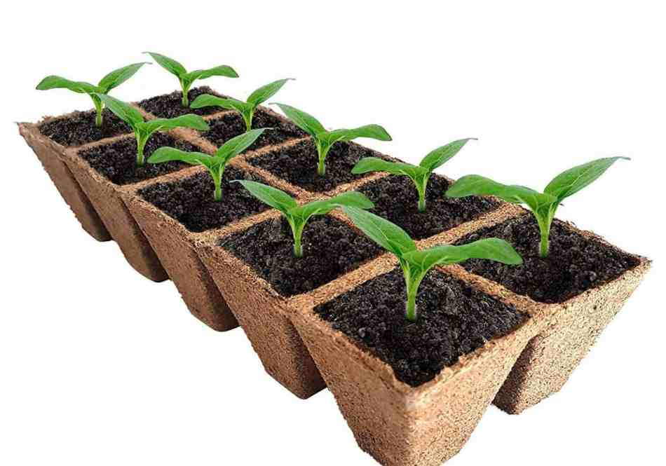 Seedlings in peat pots.