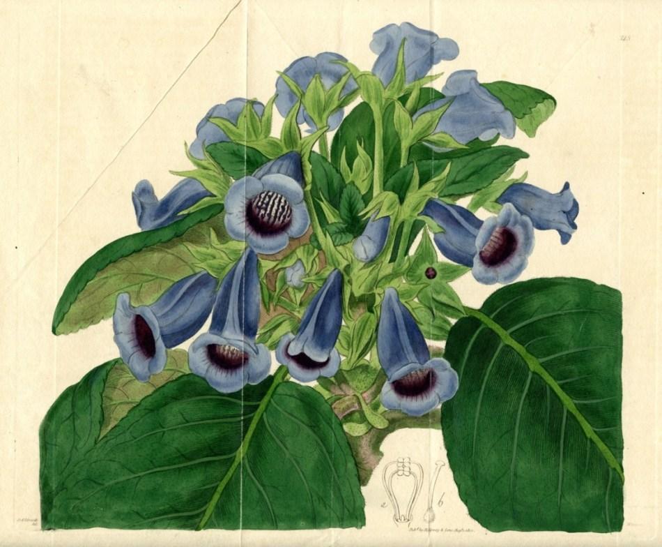 Botanical illustration of florist's gloxinia, with lavender flowers.