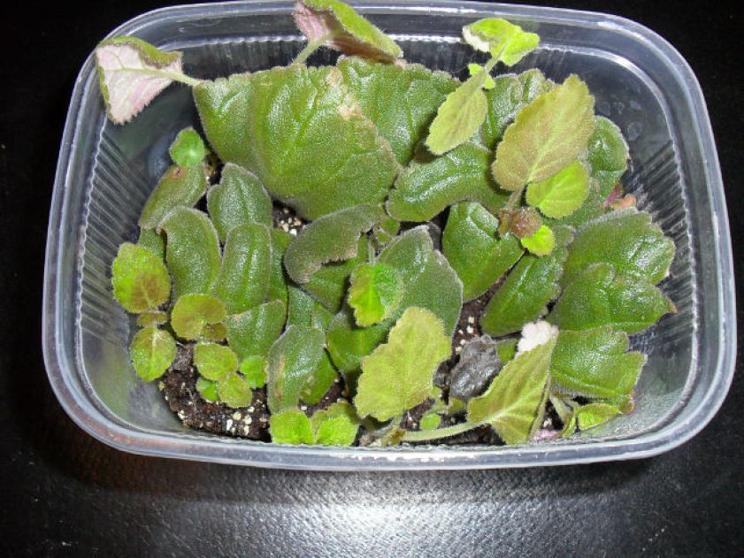 Florist's gloxinia leaf cuttings with sprouting baby plants.