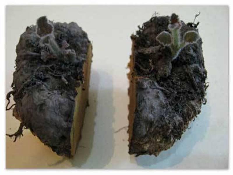 Florist's gloxinia tuber cut in half.