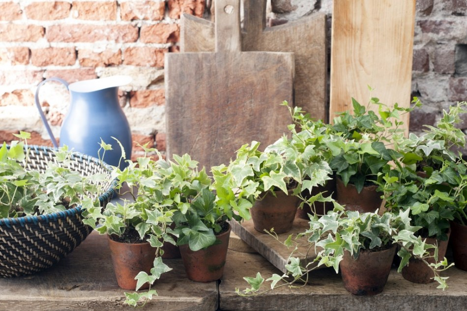 Various small ivies on a kitchen table.