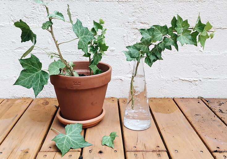 Cuttings of English ivy.