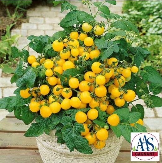 Masses of yellow tomates on a small plant of Patio Choice Yellow