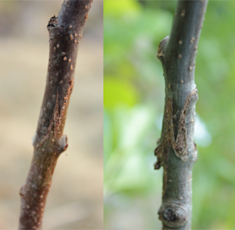 The graft union of a 1-year-old and 3-year-old apple tree.