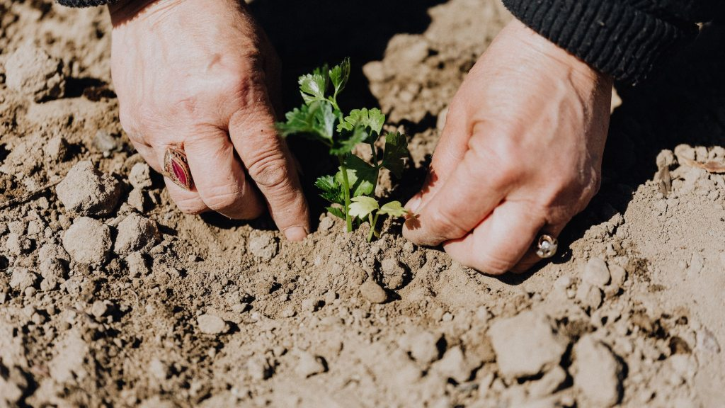 Hands planting in the earth