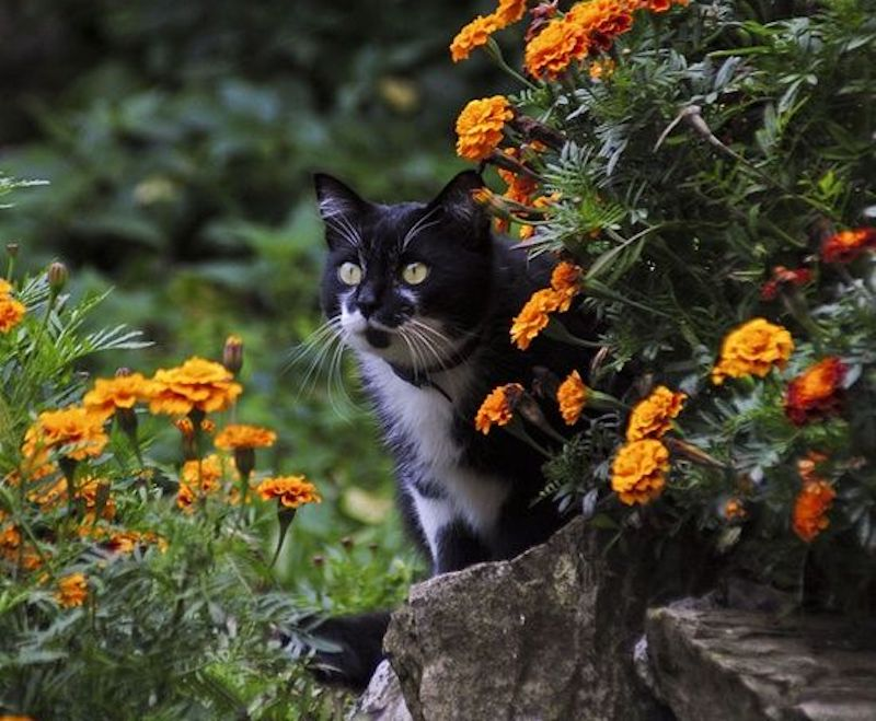 Cat sitting among French marigolds