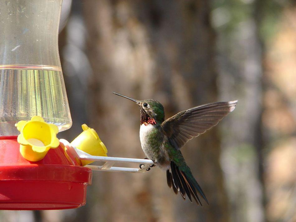 Male ruby-throated hummingbird on a feeder.