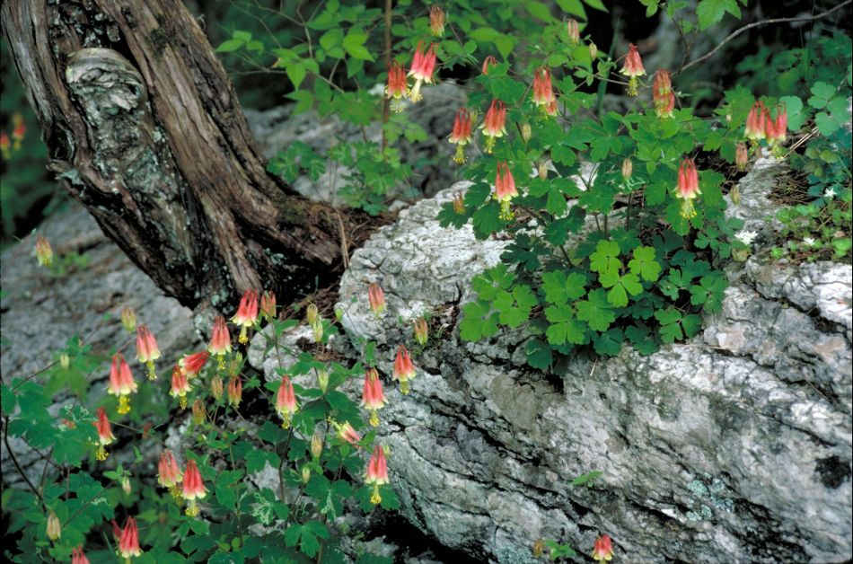 Hummingbirds often time their arrival to profit from the blooming periods of their favorite plants, like this Canada columbine (Aquilegia canadensis).