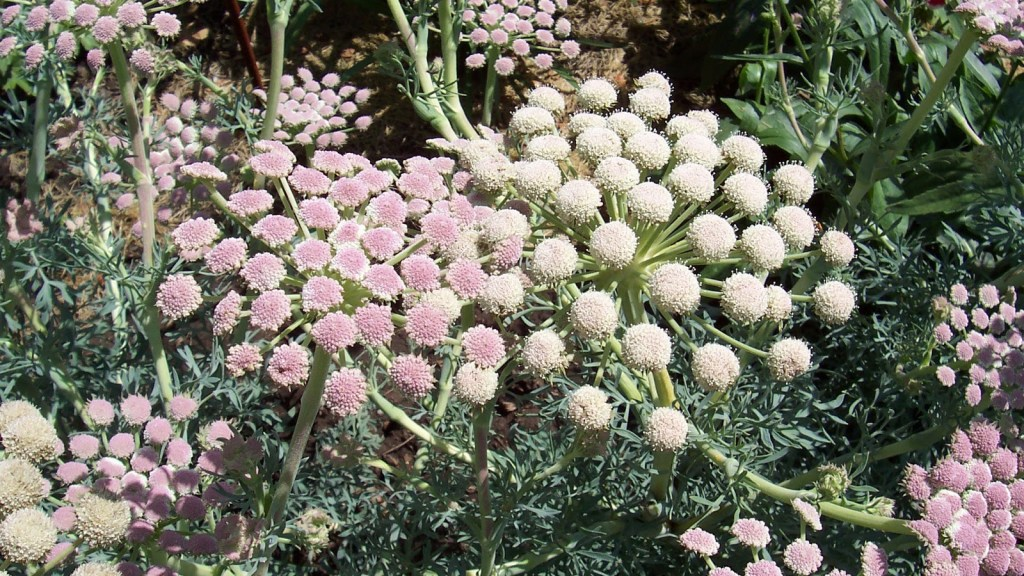 Pink and white flowers of the moon carrot.