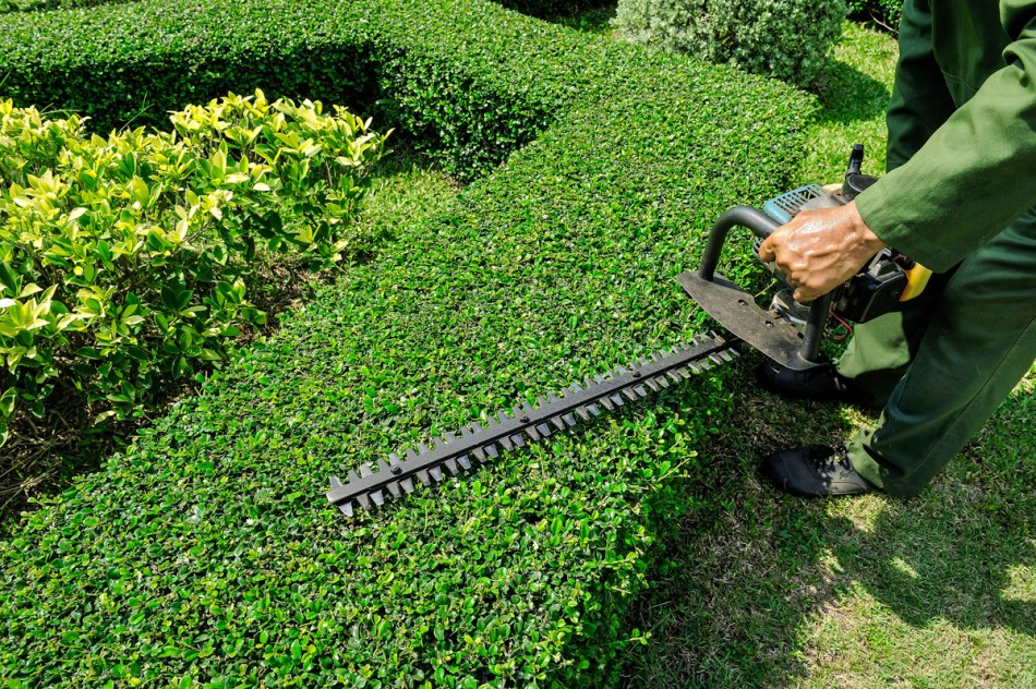 Pruning a hedge with a motorized hedge trimmer.