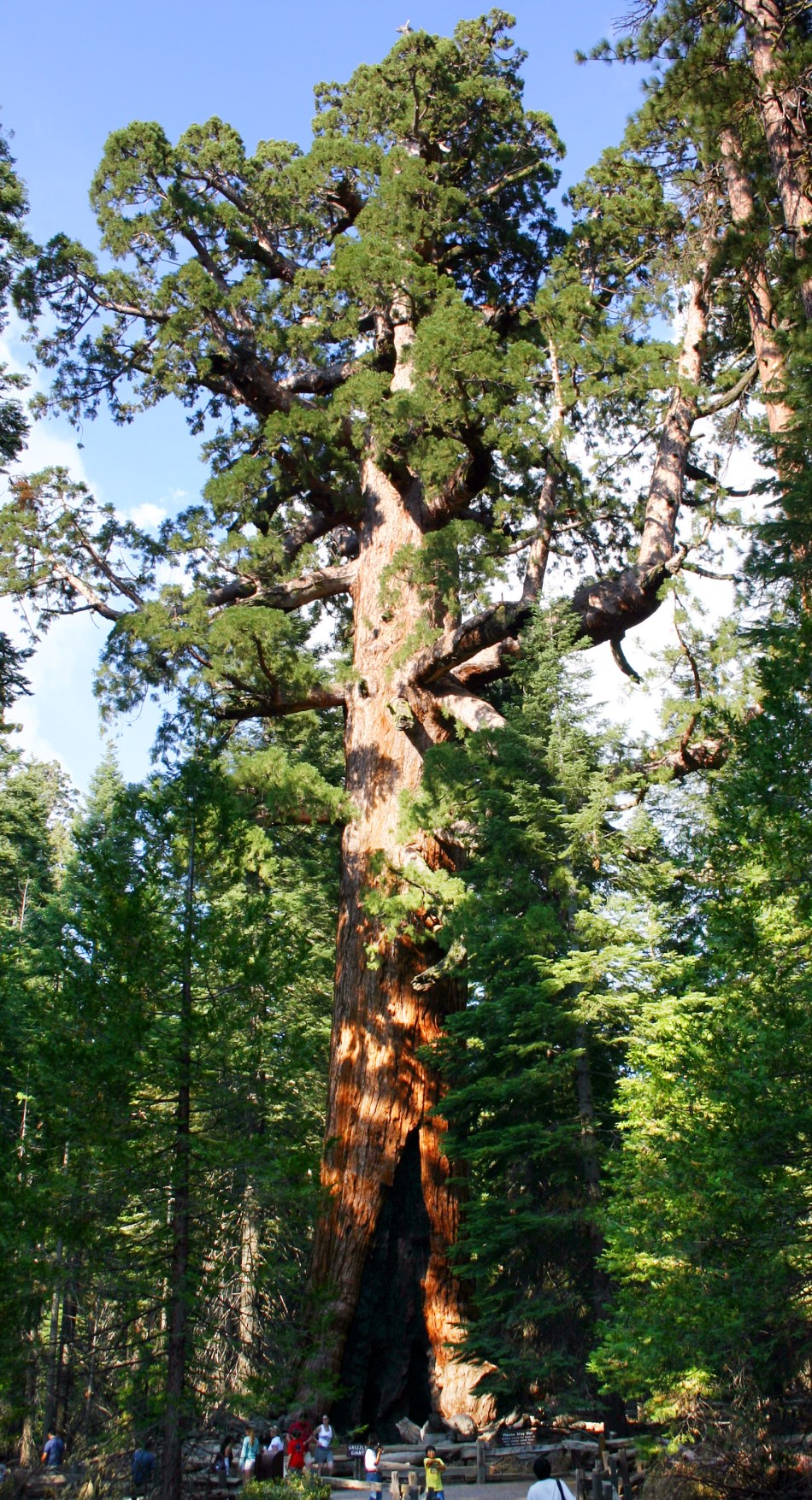 Giant sequoia in the Mariposa Grove of Yosemite National Park.
