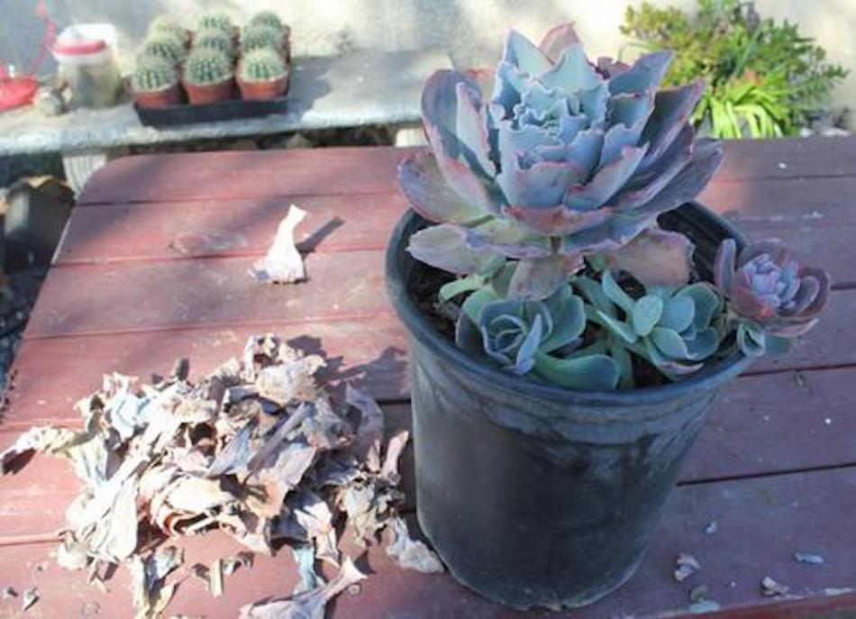Potted echeveria with pile of dead leaves removed.