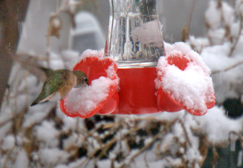 Rufous hummingbird at a feeder covered in snow.