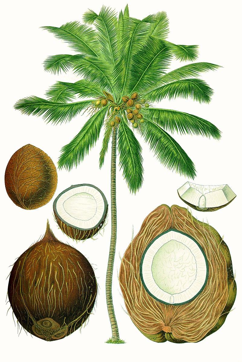 Illustration of coconut palm including fibers making up husk.