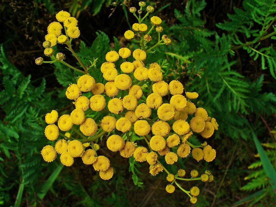 Tansy with yellow flowers.