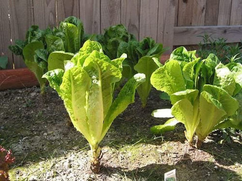 Romaine lettuce where the lower leaves have been harvested.