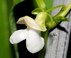 Garden bean flower.
