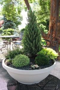 Miniature conifer container garden.