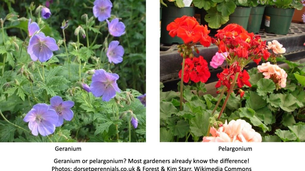 Blue geranium and red pelargonium