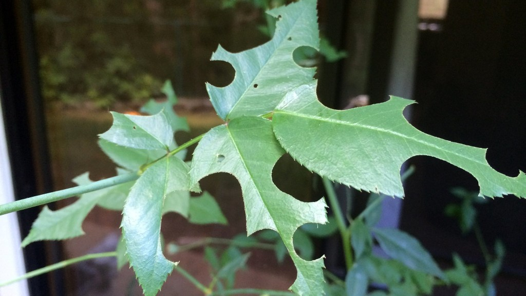 Round holes cut in rose leaves by lea cutter bees.